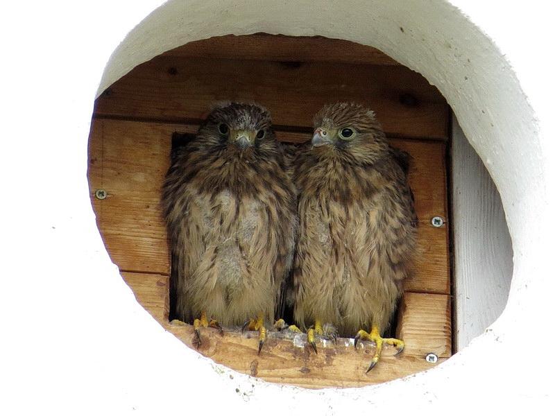 Es schauen immer mehr junge Falken aus dem Nest