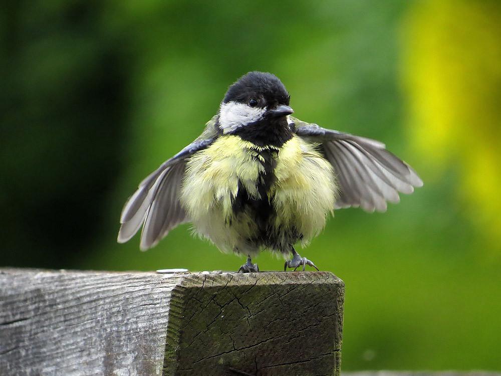 Die Jungmeise bettelt: Lautes Piepen und schnelles Vibrieren mit den Flügeln