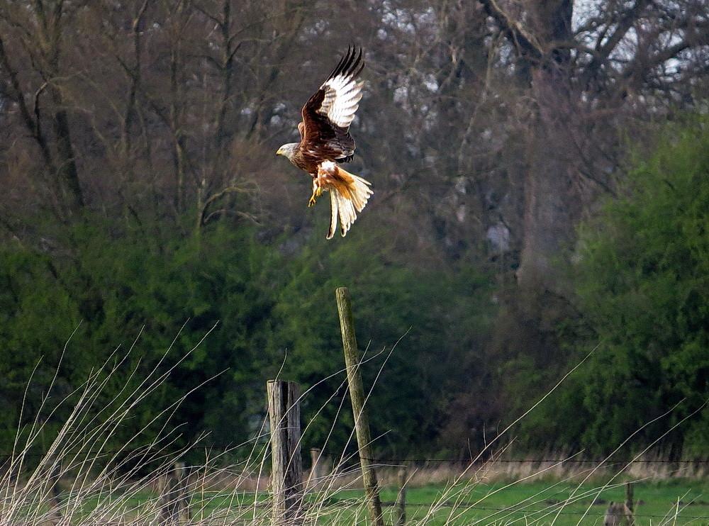 Mit mächtigen Flügelschlägen steigt er auf