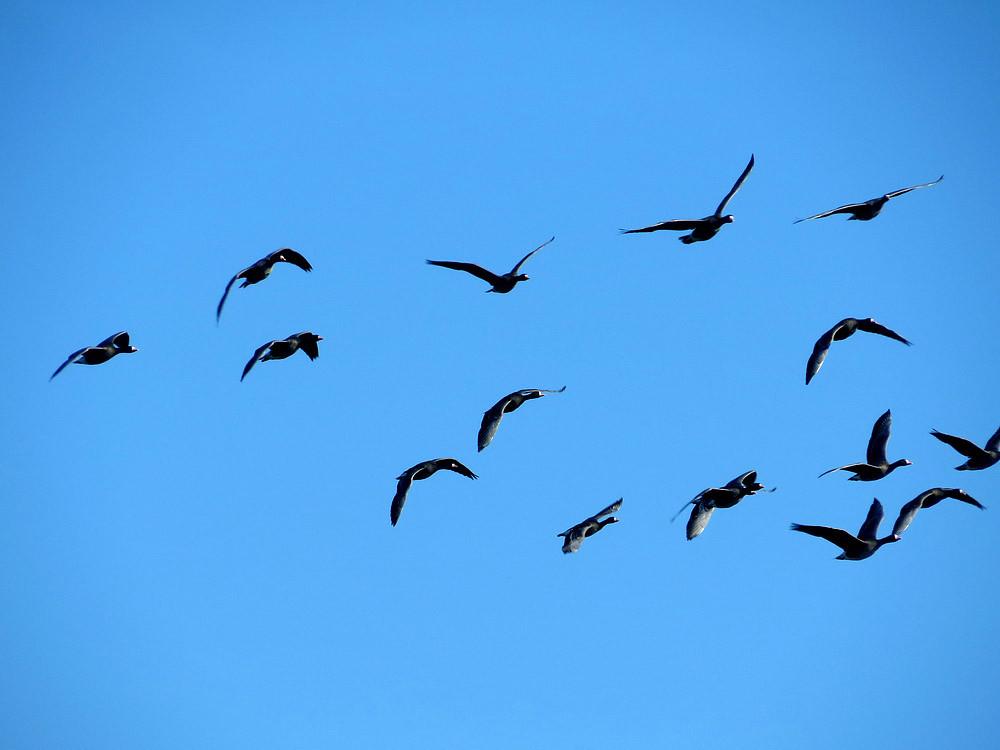 Schwarm Blessgänse fliegt ein