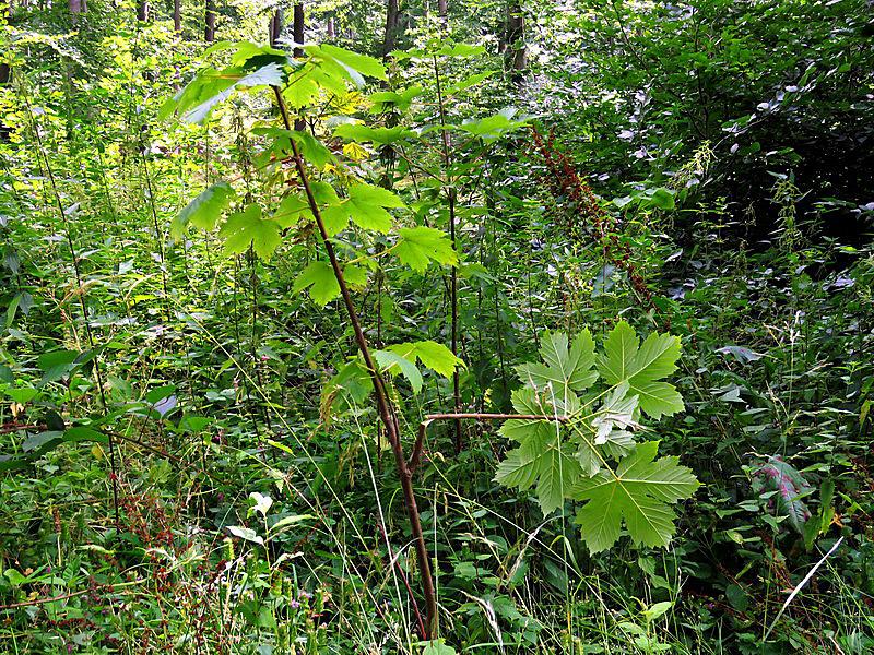 Bei jungen Bäumen soll nur eine Spitze wachsen. Weitere werden abgeschnitten