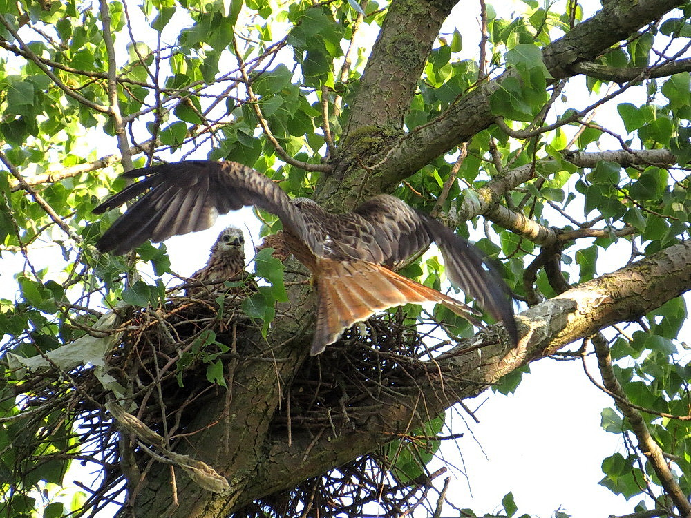 Der Muttervogel kommt mit Futter zum Horst zurück