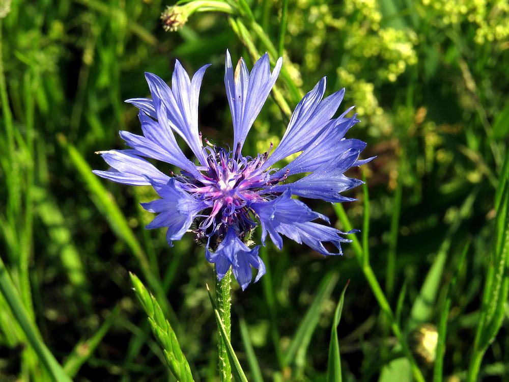 Die Kornblume, bei den alten Griechen die Blume der Demeter