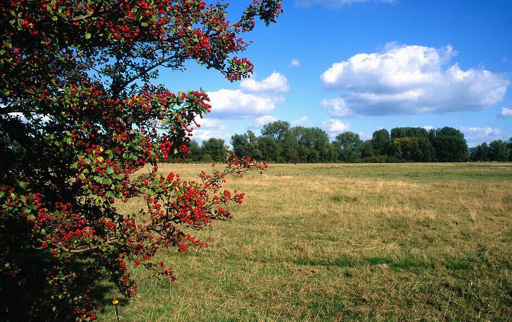 Weißdornstrauch mit Beeren vor der Herbstwiese