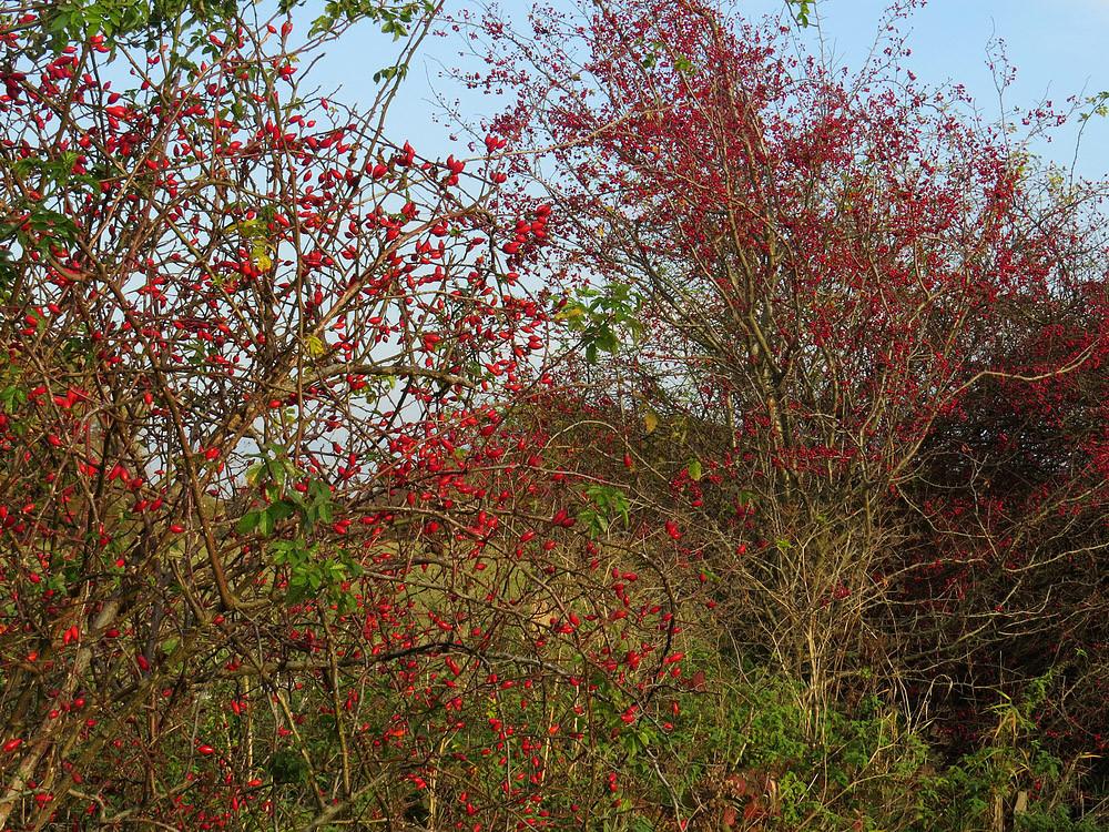 Heckenrosen verlieren die Blätter