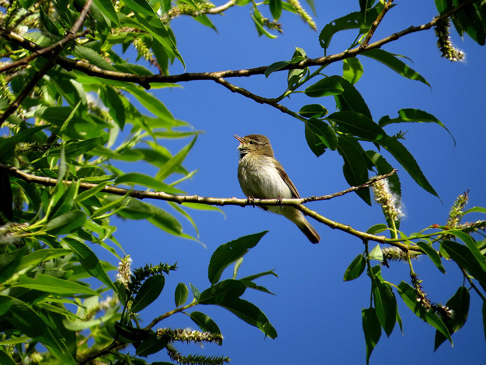 ZilpZalp: Der Vogel, der immer seinen Namen ruft