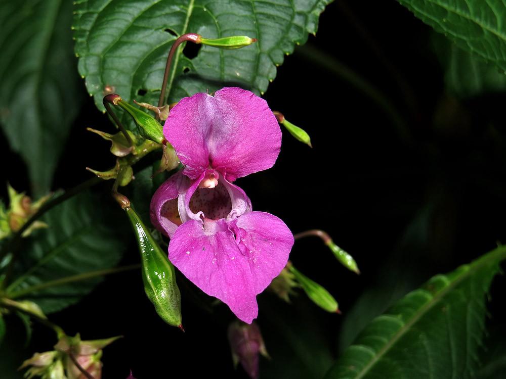 Das Springkraut hat große schöne Blüten mit viel Nektar