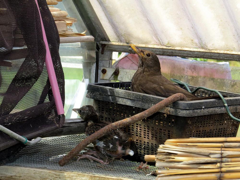 Amseln brüten hier in einem Garten-Geräteschuppen