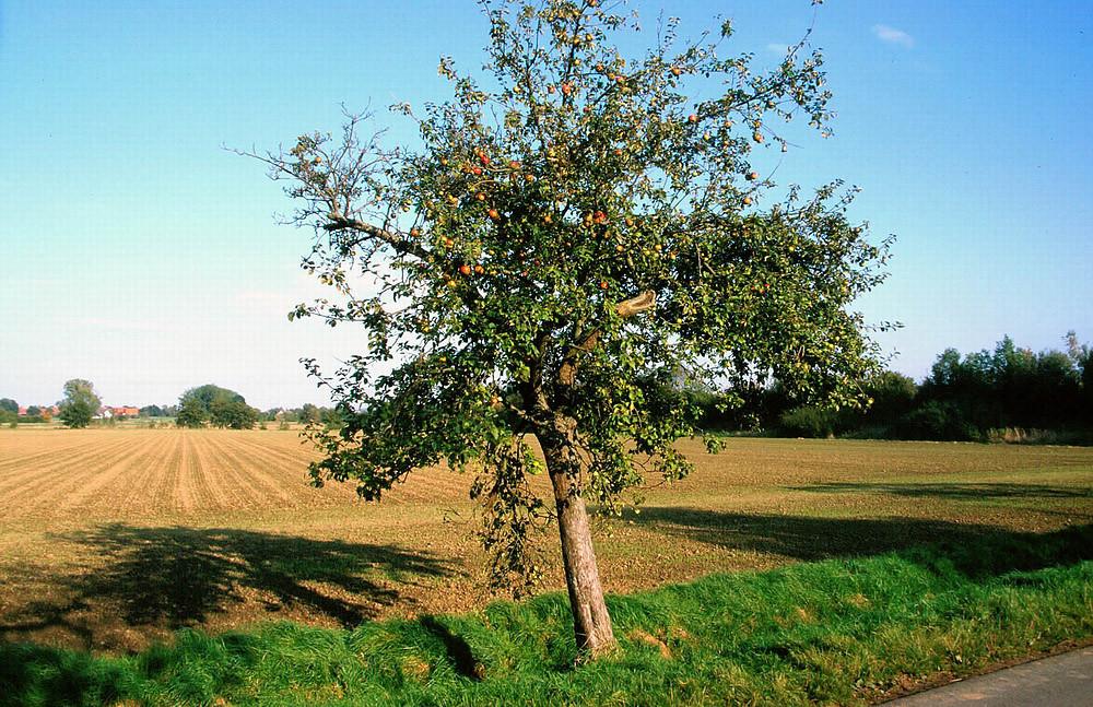 Äpfel in der Feldmark sind reif, bereit für jedermann