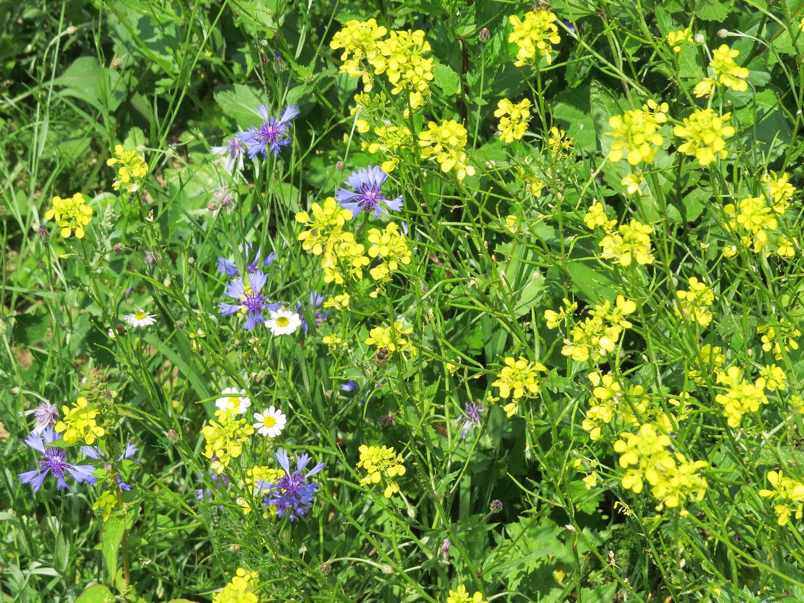 Trotz Saat Mitte Mai blüht es schon reichlich und wird auch sehr gut besucht