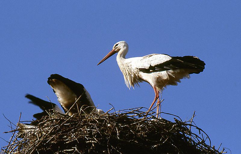 Ein Altvogel brachte Futter und schaut auf die fressenden Jungtiere