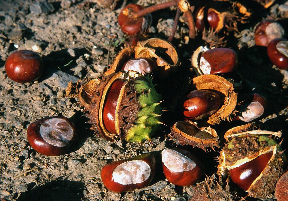 Kastanien - wichtige Nahrung für manche Wildtiere