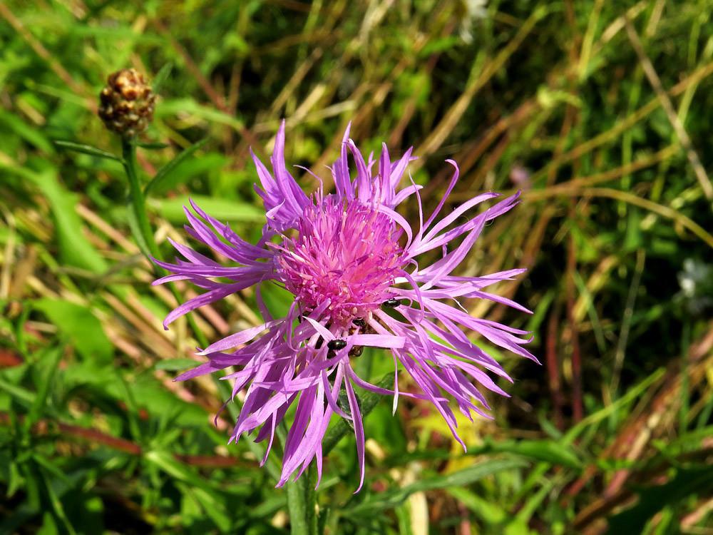 Blüte der Kuckucks-Lichtnelke