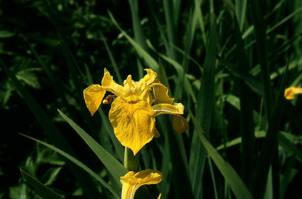 Blüte der Sumpf-Schwertlilie