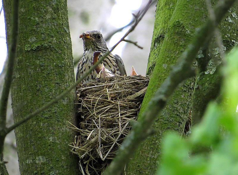 Ein Altvogel kommt mit Regenwürmern