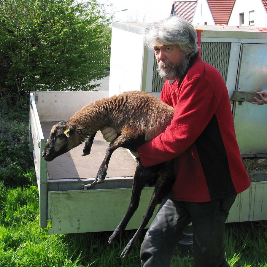 Die Schafe werden aus dem Transportbehälter herausgehoben
