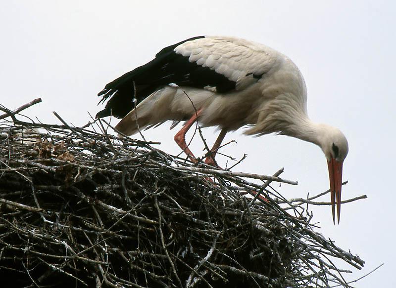 Nach dem Winter müssen die Zweige des Nestes wieder neu geordnet werden