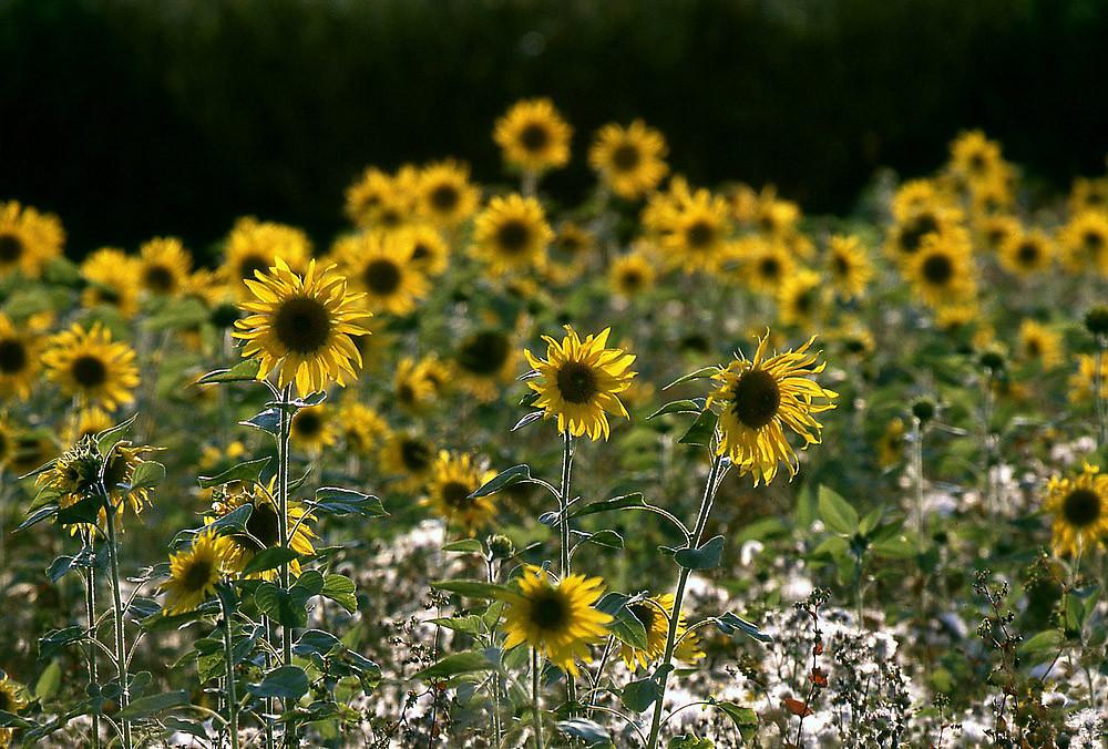 Ausklang des Sommers: Die Sonnenblume