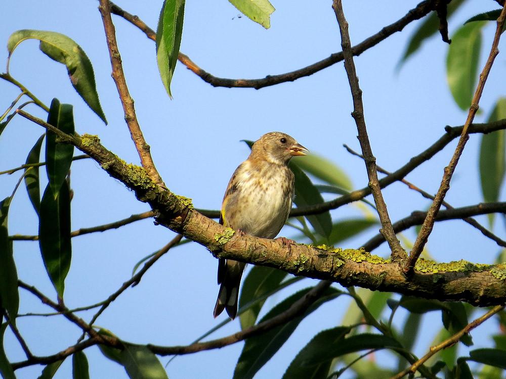 Jugendlicher Grünfink