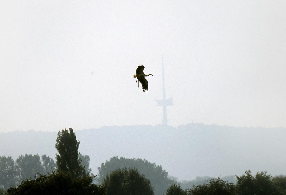 Ein Storch will landen. Im Hintergrund der Fersehturm Porta.