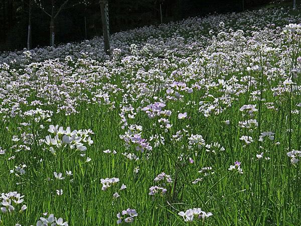 Großflächig steht das Wiesenschaumkraut in Blüte.