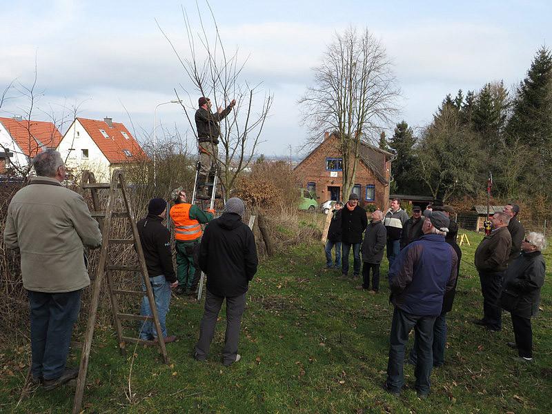 Nach einem Jahr sind an den Bäumen kräftige Korrekturschnitte erforderlich.