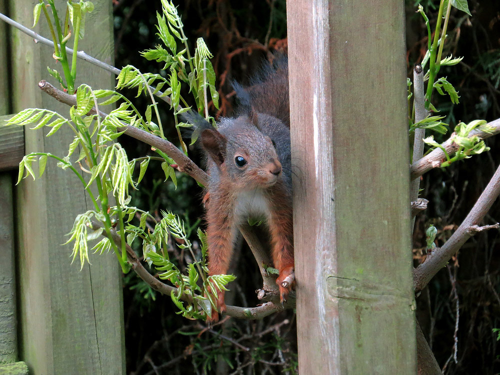 Hier schleicht sich ein Eichhörnchen an