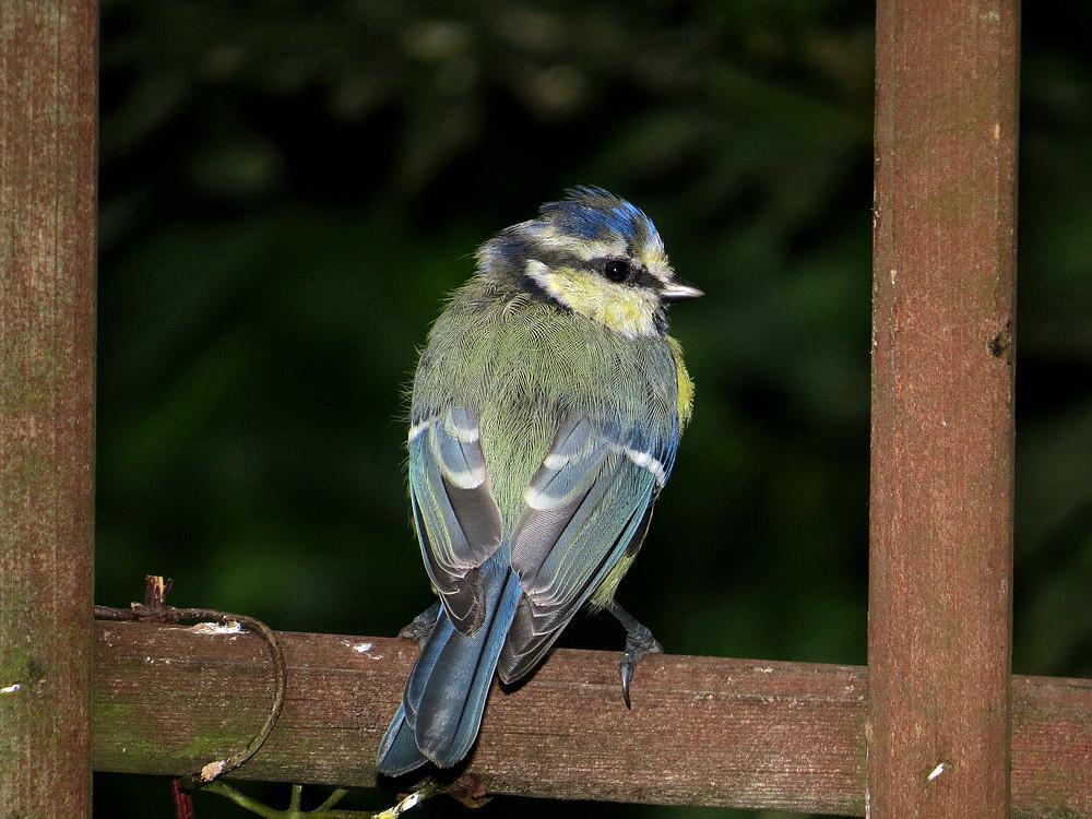 Die Blaumeise als Jungvogel