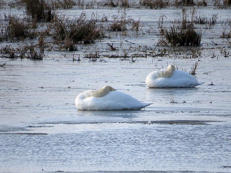 Die ruhenden Höckerschwäne sitzen auf der Eisfläche mit eingepacktem Kopf.