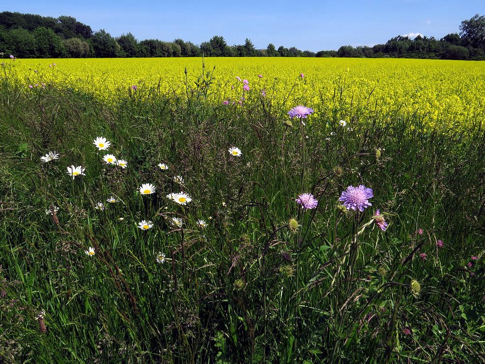Leuchtende Blüten am Feldrand