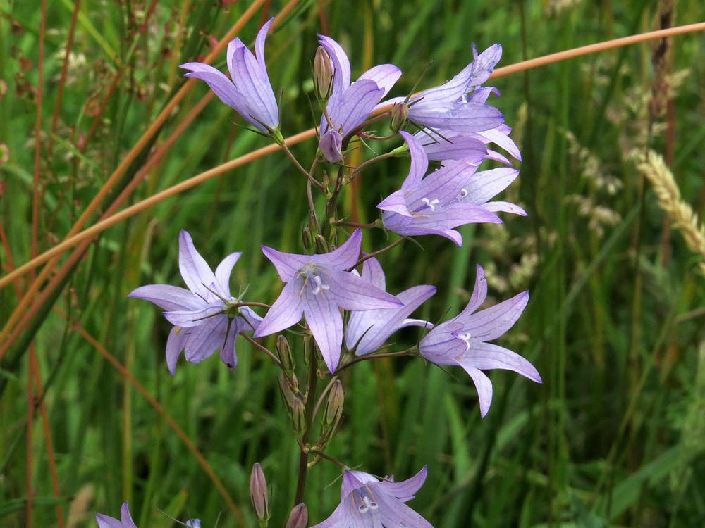 Die Wiesen-Glockenblume