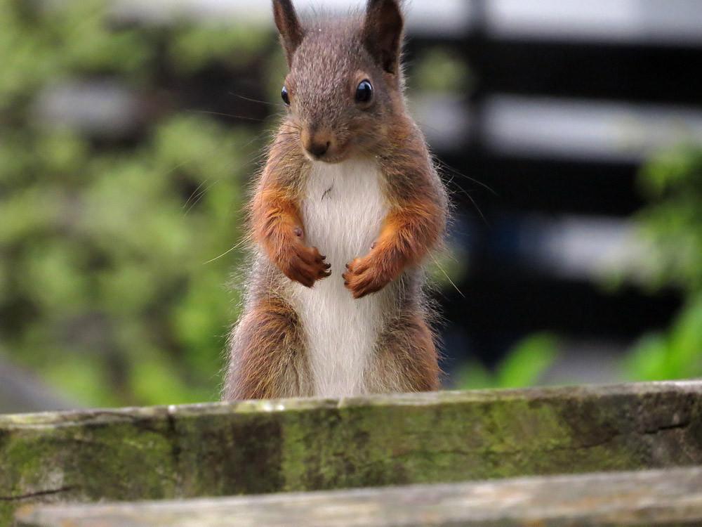 Das Eichhörnchen steht da wie ein Catcher