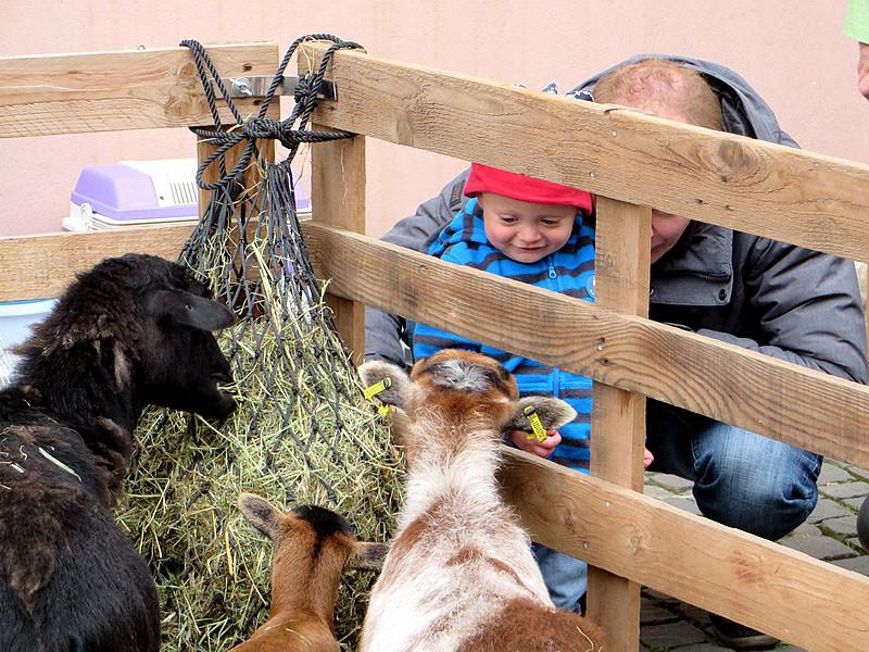 Die kleinwüchsigen Schafe machten auch den Kleinsten keine Angst