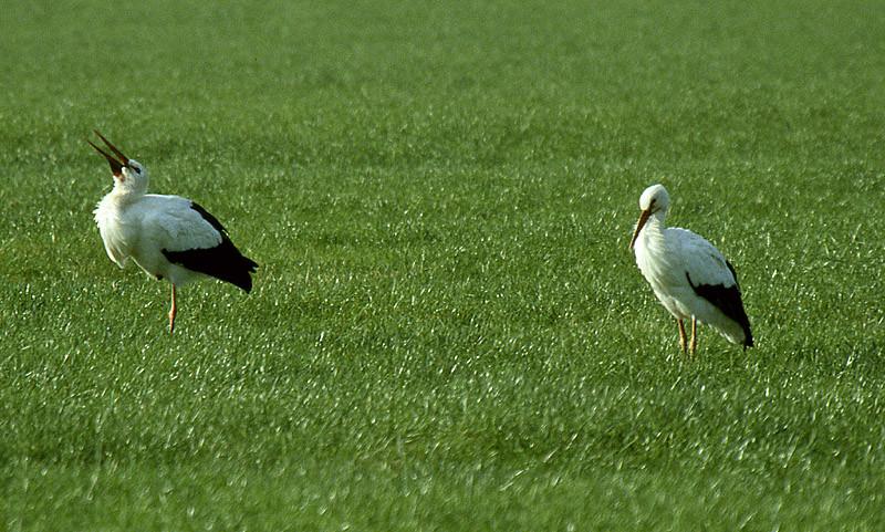 Storchenpaar auf gemeinsamer Jagd