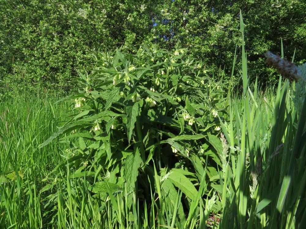 Beinwell (alte Medizinpflanze)