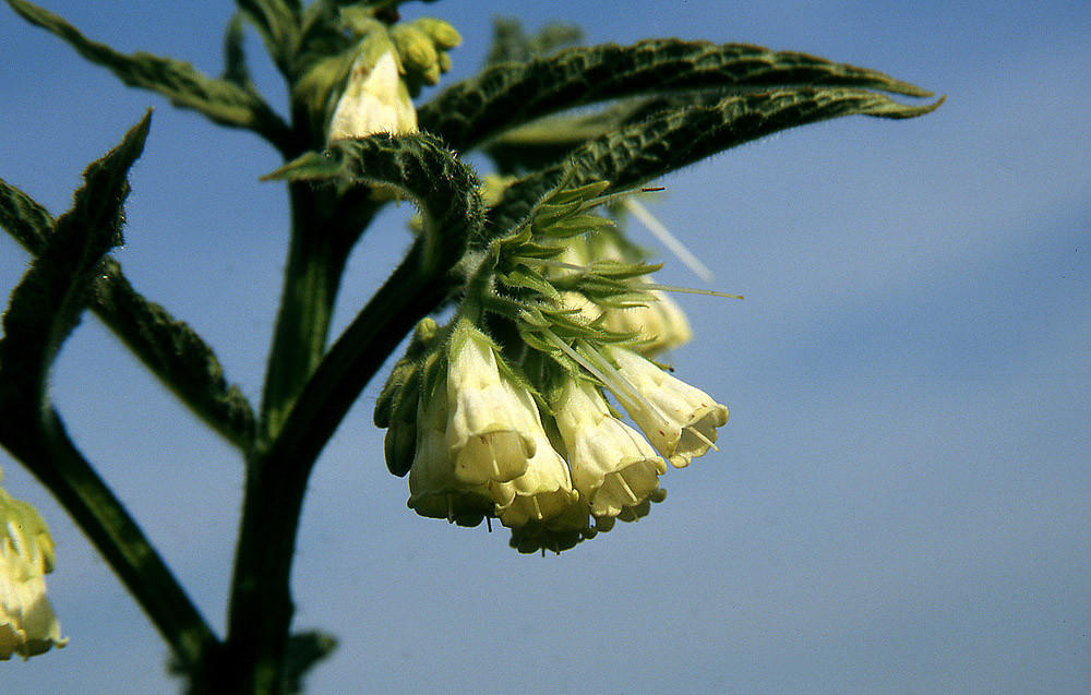 Beinwell-Blüten können weißlich oder auch gefärbt sein