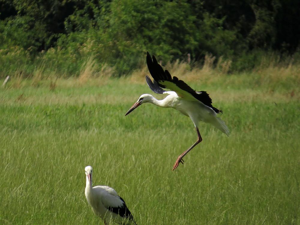 Ein Storch bei der Landung.