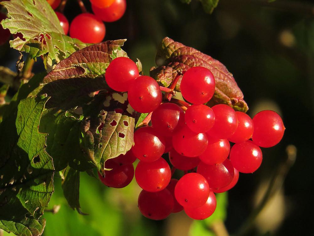 Die roten Früchte des Schneeballs