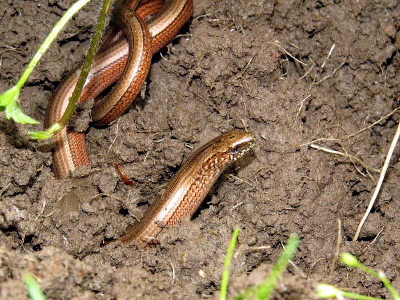 """Es ist keine Schlange, sondern eine """"Eidechse ohne Beine"""""""
