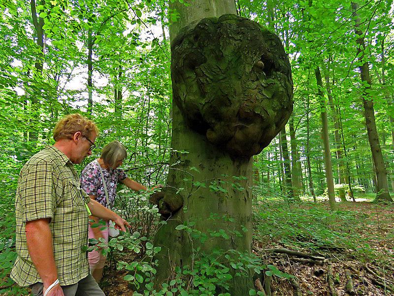 Der größte Baumpilz in Harrl