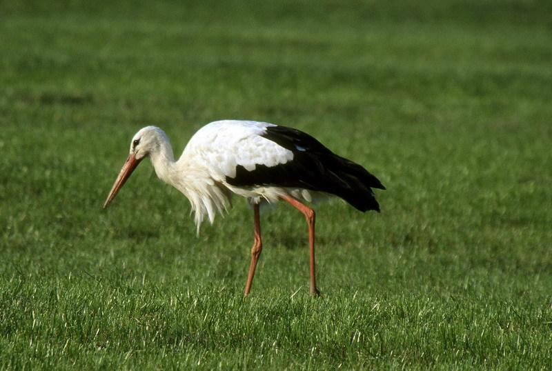 Wieder zurück vom Winterurlaub. Ein Petzer Storch geht wieder auf Jagd in der Niederung