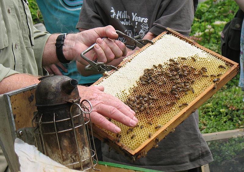 Auf dünne Platten aus Bienenwachs bauen die Bienen ihre Waben