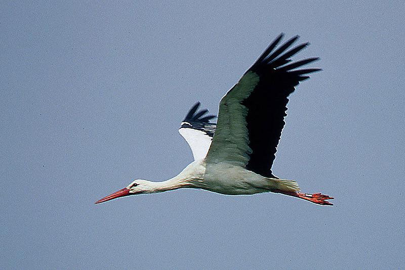 Dieser Storch ist verheiratet: Er trägt einen Ring am Bein