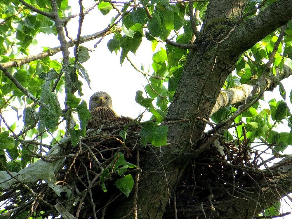 Der weibliche Rotmilan im Nest