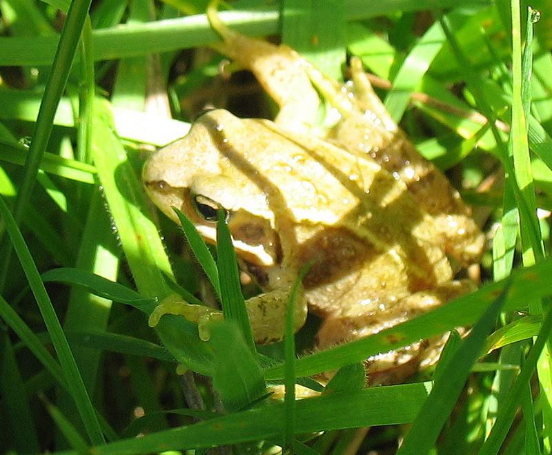 Einer der Bewohner unserer Streuobstwiese versteckt sich hier im hohen Gras. Als Grasfrosch ist das ja auch normal