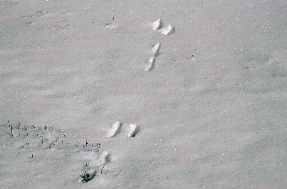 Hasenspur im Schnee