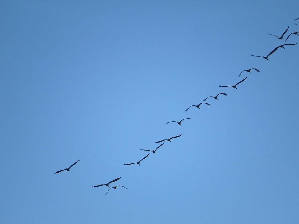 Ein Keil Kraniche fliegt trompetend Richtung Süden