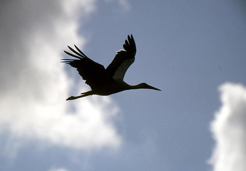 Ein durchziehender Storch