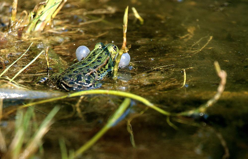 Teichfrosch-Männer auf der Suche nach Weibchen
