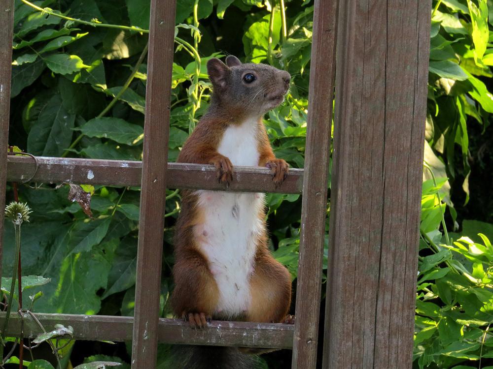 Die Eichhörnchenmama im Sommerfell ohne Ohrpinsel